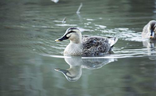 spot-billed duck bird lake