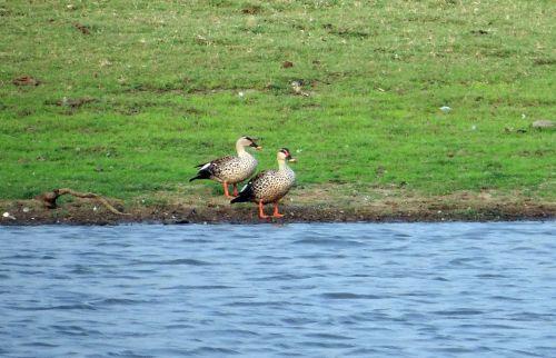 spot-billed duck anas poecilorhyncha spotbill