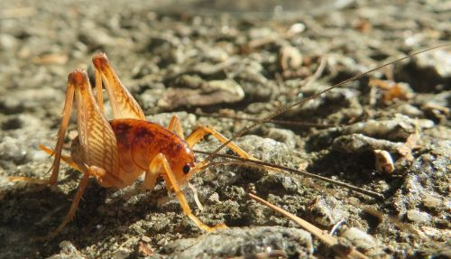 spotted camel cricket cricket insect