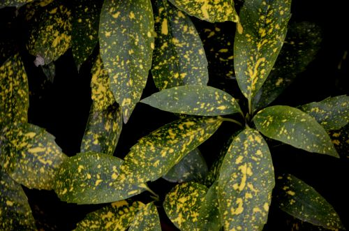 Spotted Croton Plant