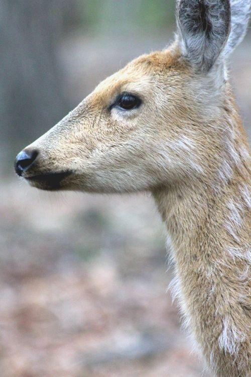spotted deer doe cervus nippon