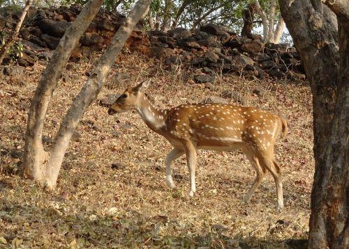 spotted deer chital doe