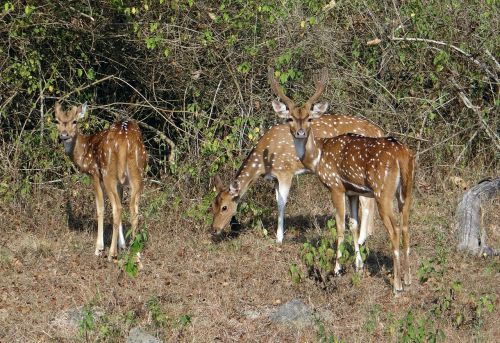 spotted deer chital axis axis