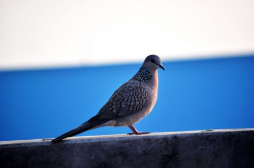 Spotted Dove 10