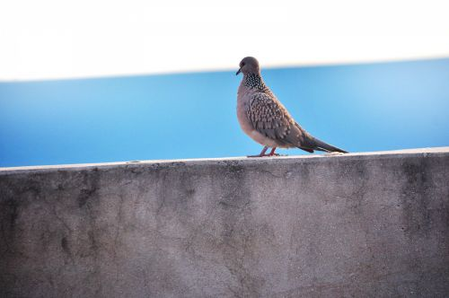 Spotted Dove 11