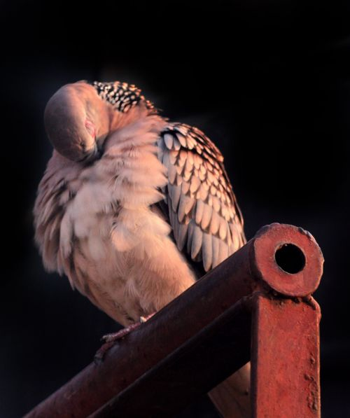 Spotted Dove 12