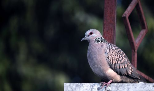 Spotted Dove 13