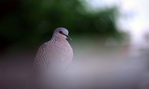 Spotted Dove 14