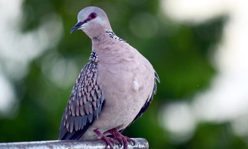 Spotted Dove 15