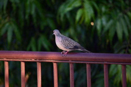 Spotted Dove 16