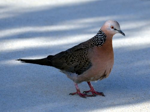 spotted dove pigeon bird