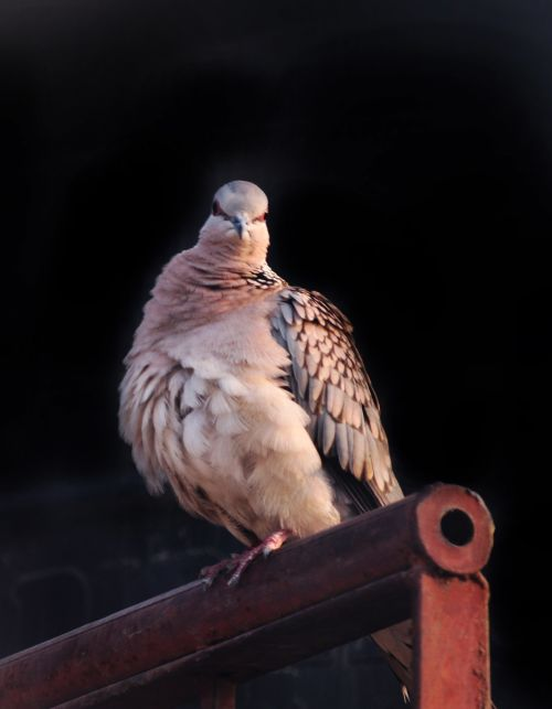 Spotted Dove 7