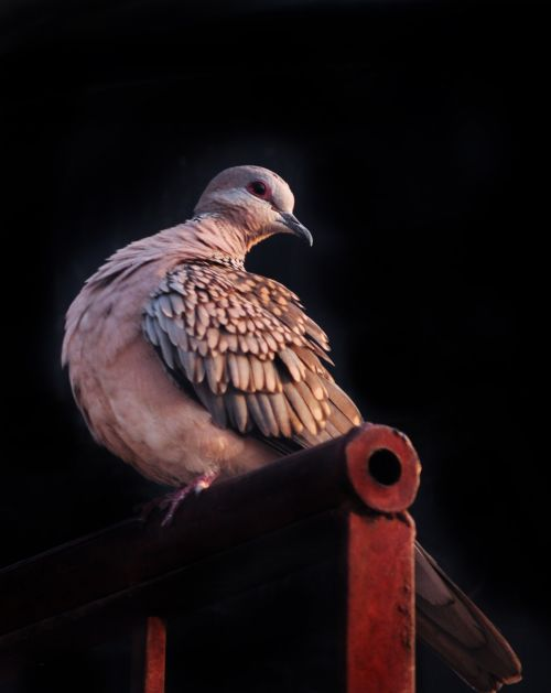 Spotted Dove 8