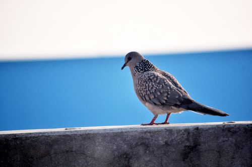Spotted Dove 9