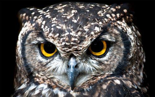 spotted eagle owl portrait owl
