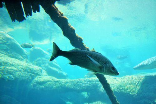 Spotted Grunter In Aquarium