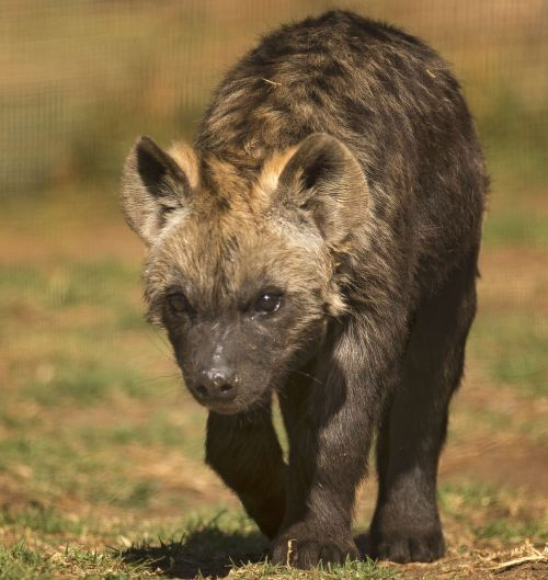 spotted hyena scavenger spotted