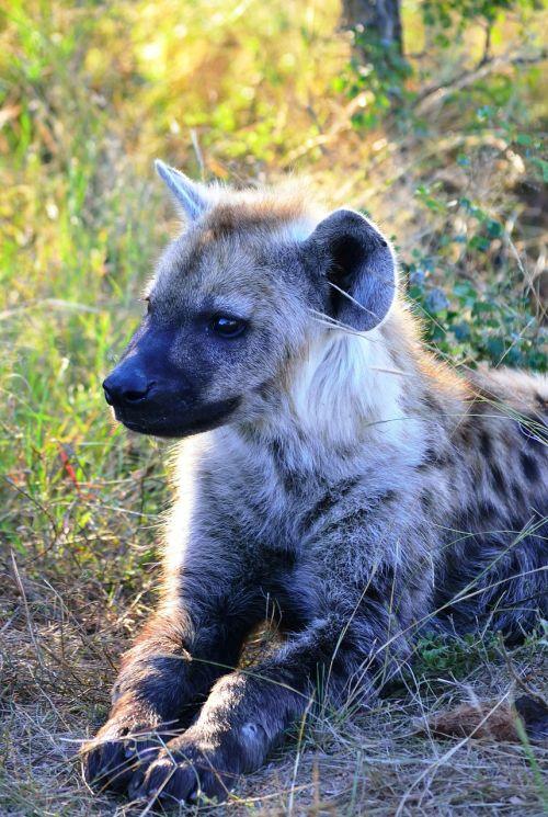 spotted hyena hyena africa