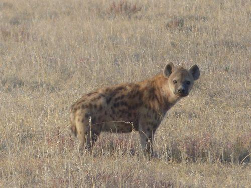spotted hyena hyena mammal