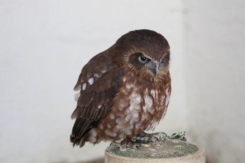 spotted owl  hawk owl  hawk-owl