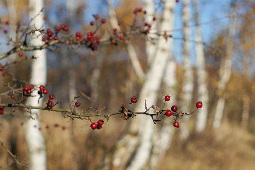 sprig crataegus red
