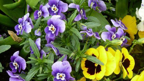 pavasaris,spalvinga,violaceae,Pansy,gėlės
