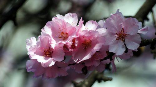spring peach blossom blossom
