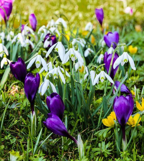 spring crocus snowdrop