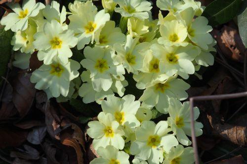 spring primrose plant
