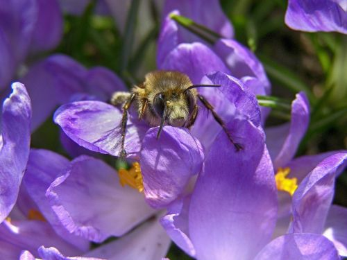 spring bee insect