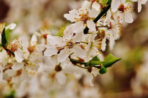 pavasaris,žiedas,žydėti,žydėti,gamta,augalas,medis,sodas,balta