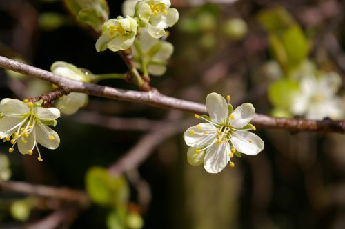 spring plum tree flowers