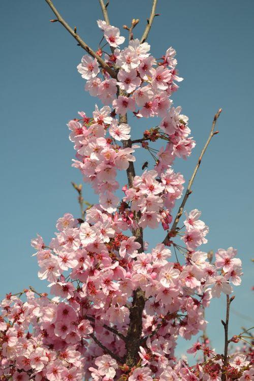 spring flower pink