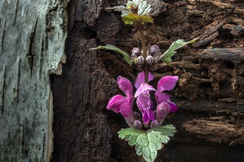 spring dead nettle wild herb