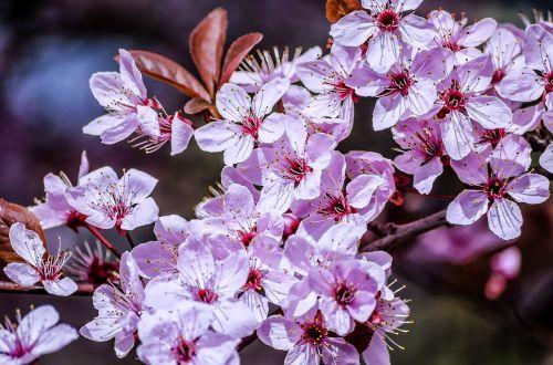 pavasaris,gėlė,saulės šviesa,pavasario gėlės,vyšnia,gėlės,žydintis medis,vyšnių žiedas,vyšnių žiedas,ramus,žydėti,šviesa