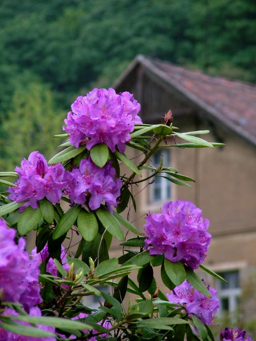 spring rhododendron purple