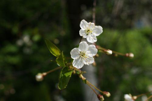pavasaris,medis,gamta,lapija,sprigas,žalias,balta,augalas,žydintis medis,gėlės,žydintis medis,grožis,sodas,žydėjimas