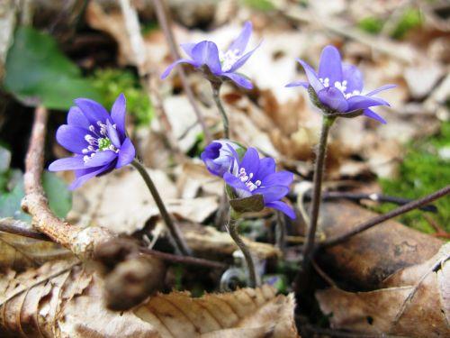 spring flowers hepatica nobilis