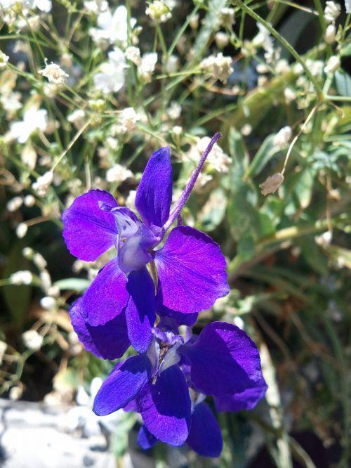 Klematis pavasaris,gėlė,gamta,pavasaris,žalias,gėlių,sodas,spalva,sodininkystė,žiedas,violetinė