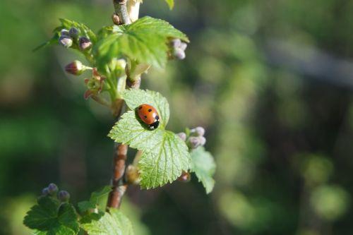 spring currant ladybird