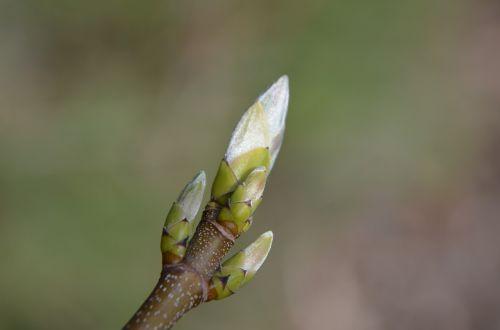 spring branch bud