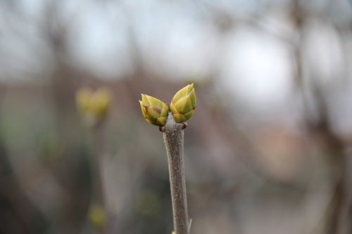 spring bud shoots
