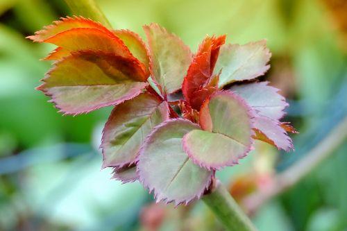 spring leaf sprouting rose petals