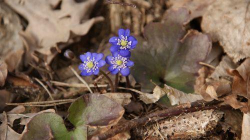 spring blue violet