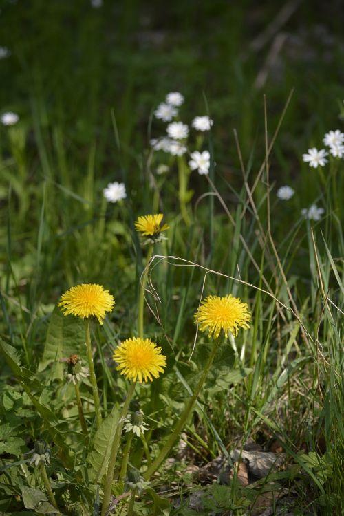 spring dandelion yellow flower