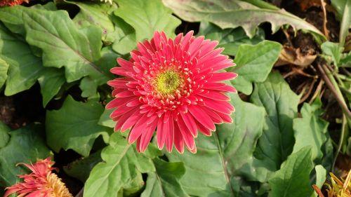 spring flower red