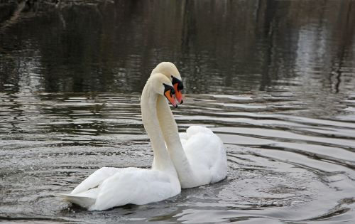 spring swans nature