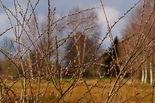 spring willow catkin pasture