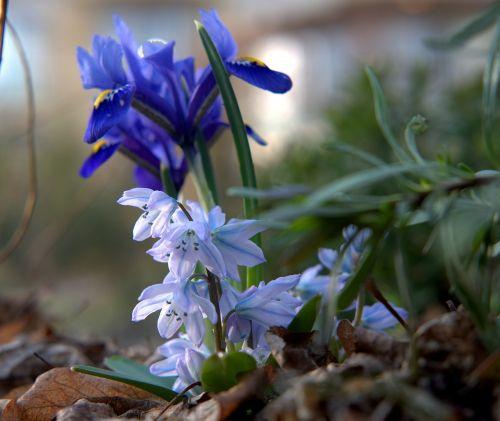 spring spring awakening harbinger of spring