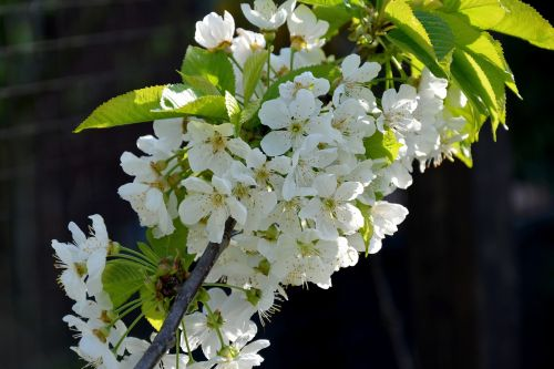 spring flowers fruit tree blossoming